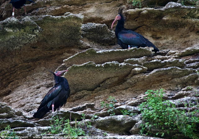 Northern Bald Ibis © 2013 Fraser Simpson