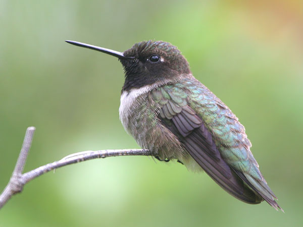 Black-chinned Hummingbird  © 2006 Fraser Simpson