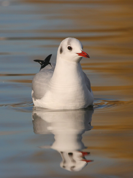 Black-headed Gull © 2007 Fraser Simpson