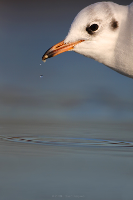 Black-headed Gull © 2008 Fraser Simpson