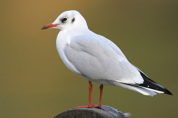 Black-headed Gull © 2006 Fraser Simpson