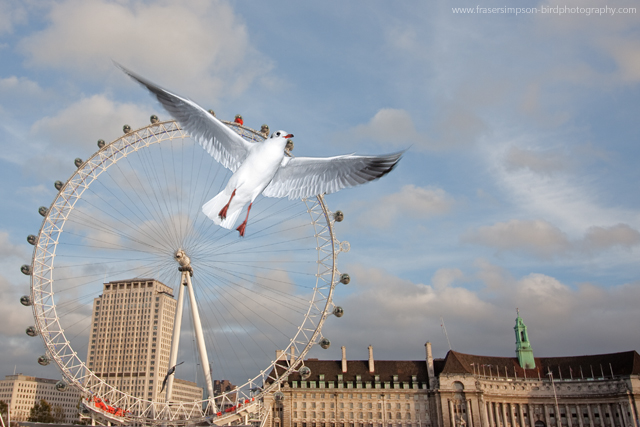 Black-headed Gull © 2011 Fraser Simpson