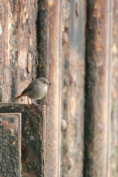 Black Redstart, England