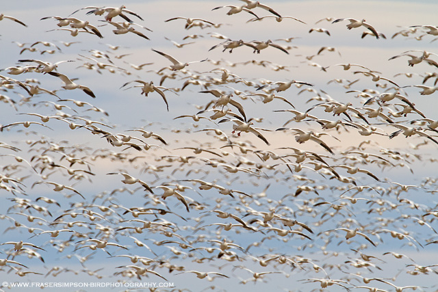 Snow & Ross's Geese, New Mexico