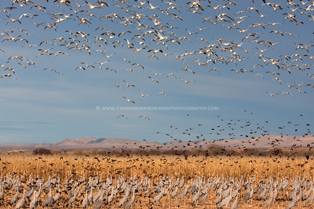 Geese, Cranes & Blackbirds, New Mexico