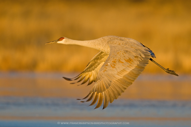 Sandhill Crane, New Mexico
