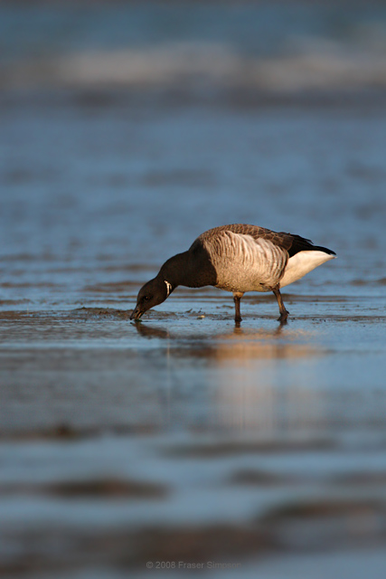 Light-bellied Brent Goose © 2008 Fraser Simpson