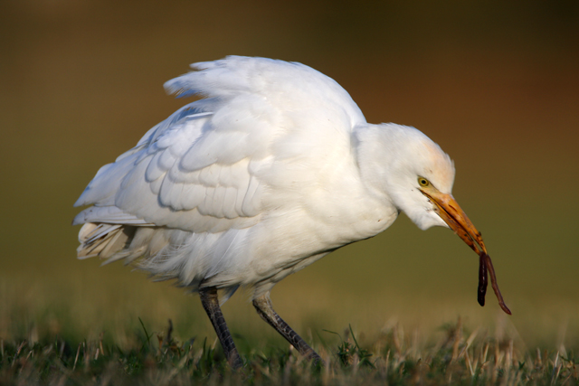 Cattle Egret, England