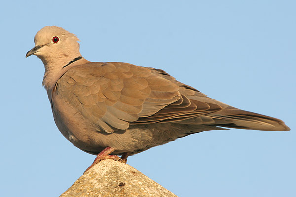 Collared Dove © 2005 Fraser Simpson