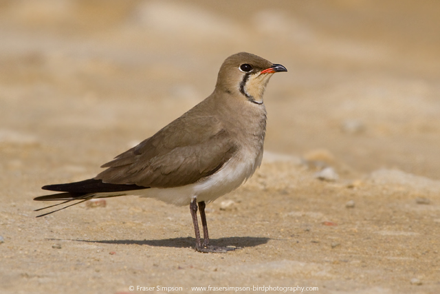 Collared Pratincole © 2015 Fraser Simpson