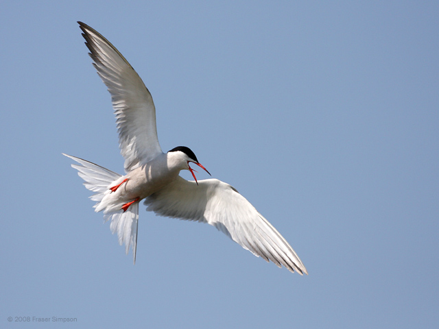Common Tern, England