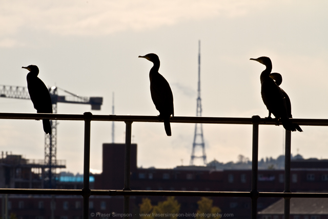 Great Cormorant © 2014 Fraser Simpson