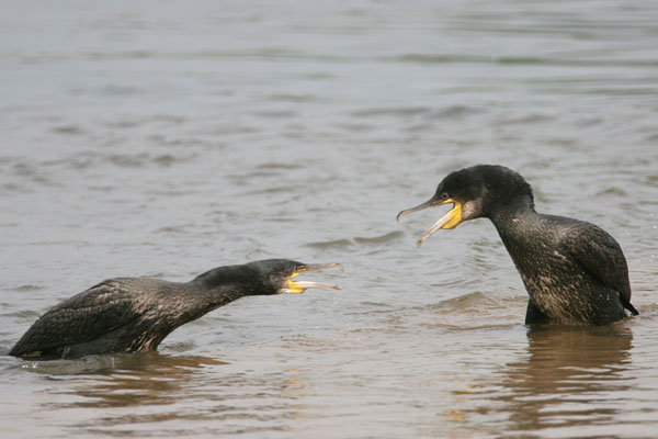 Great Cormorant © 2006 Fraser Simpson