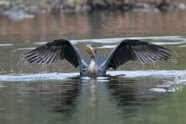 Great Cormorant © 2007 Fraser Simpson