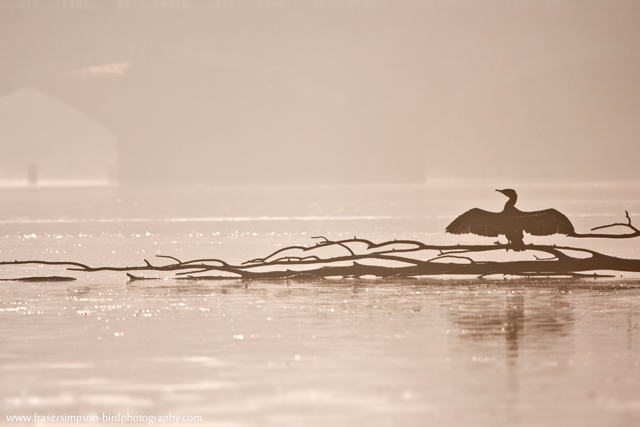Great Cormorant © 2011 Fraser Simpson