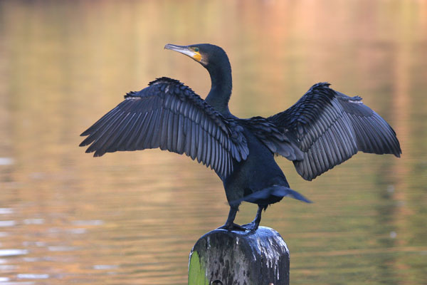 Great Cormorant © 2005 Fraser Simpson
