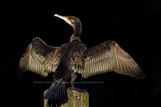 Great Cormorant, London