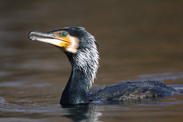 Great Cormorant © 2008 Fraser Simpson