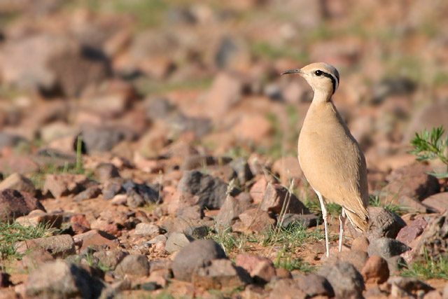 Cream-coloured Courser © 2007 Fraser Simpson