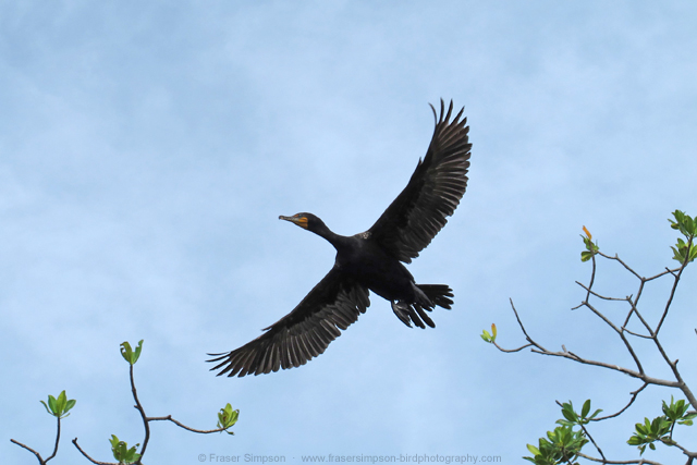 Double-crested Cormorant © 2012 Fraser Simpson