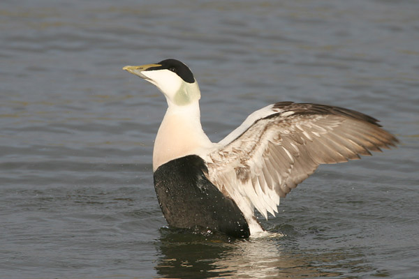 Common Eider © 2007 Fraser Simpson