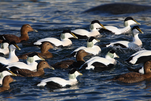 Common Eider © 2008 Fraser Simpson