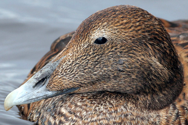 Common Eider © 2006 Fraser Simpson