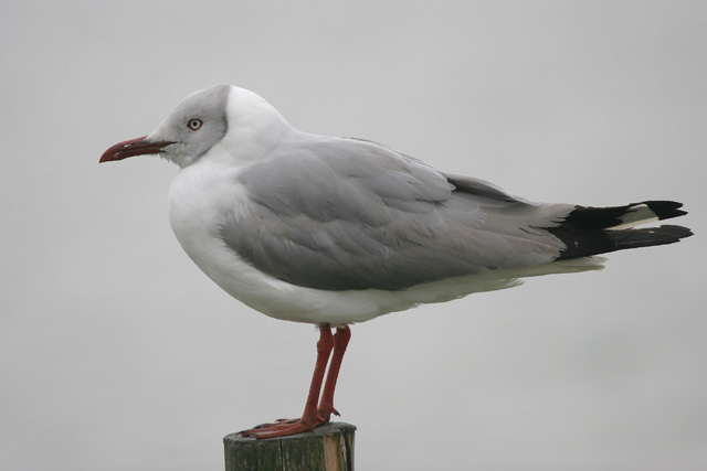 Gray-headed Gull © 2007 Fraser Simpson