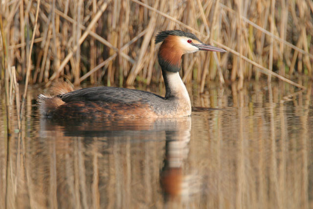 Great Crested Grebe © 2007 Fraser Simpson