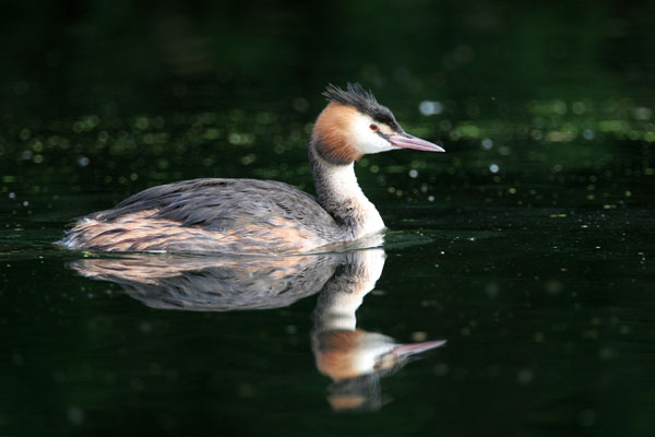 Great Crested Grebe © 2006 Fraser Simpson