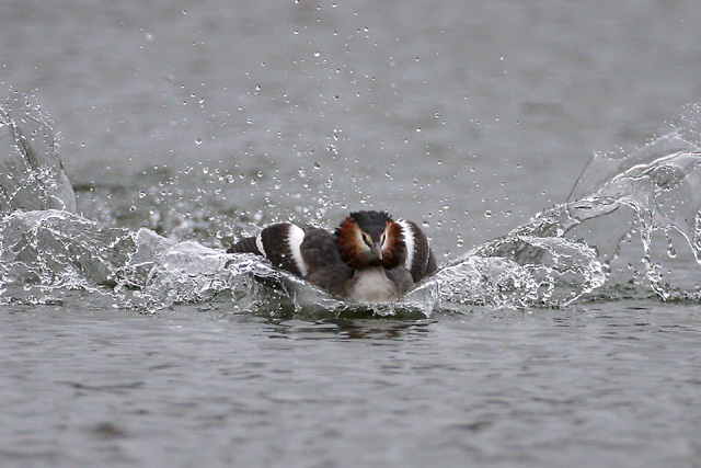 Great Crested Grebe © 2008 Fraser Simpson