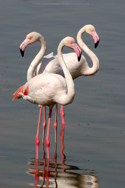 Greater Flamingos, United Arab Emirates