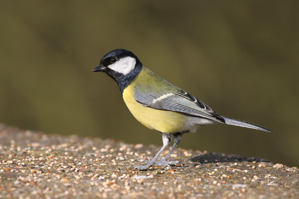 Great Tit © 2007 Fraser Simpson