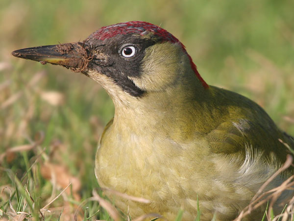 Green Woodpecker © 2006 Fraser Simpson