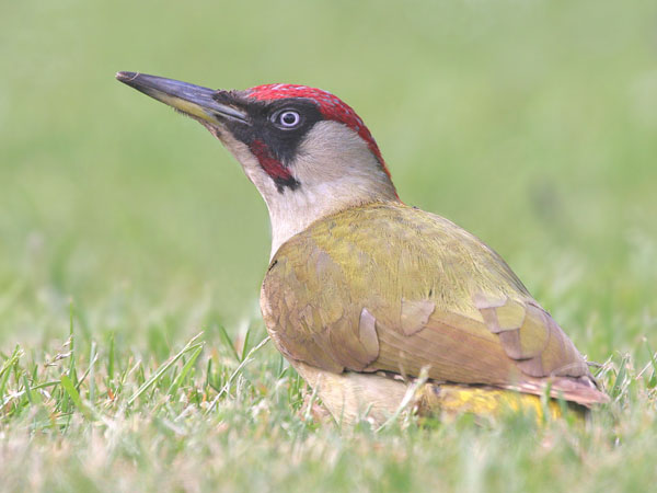 Green Woodpecker © 2005 Fraser Simpson