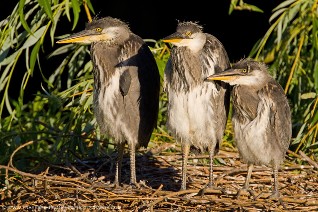 Grey Heron chicks, England