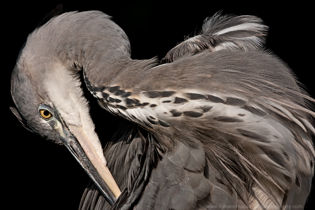 Grey Heron © 2011 Fraser Simpson