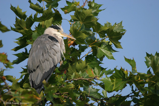 Grey Heron © 2008 Fraser Simpson