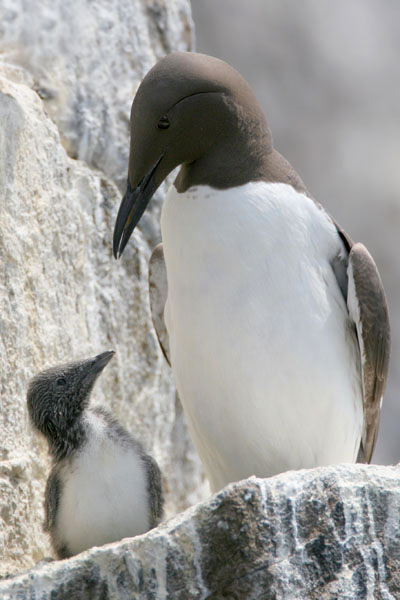 Common Guillemots, Scotland