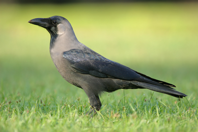House Crow © 2008 Fraser Simpson
