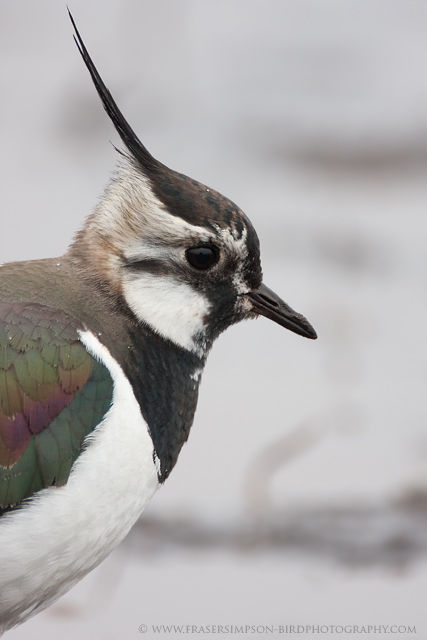 Northern Lapwing © 2010 Fraser Simpson