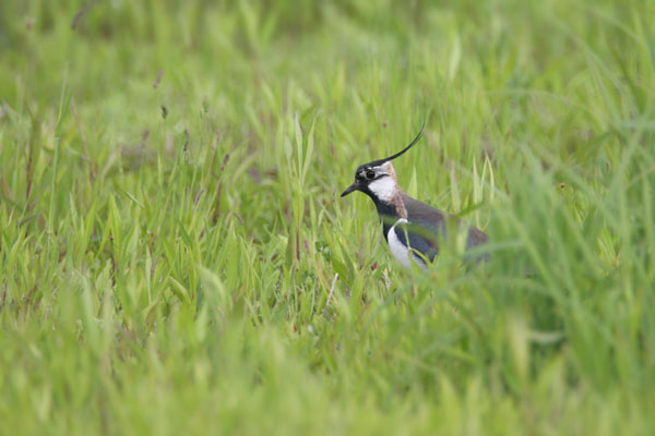 Northern Lapwing  © 2006 Fraser Simpson