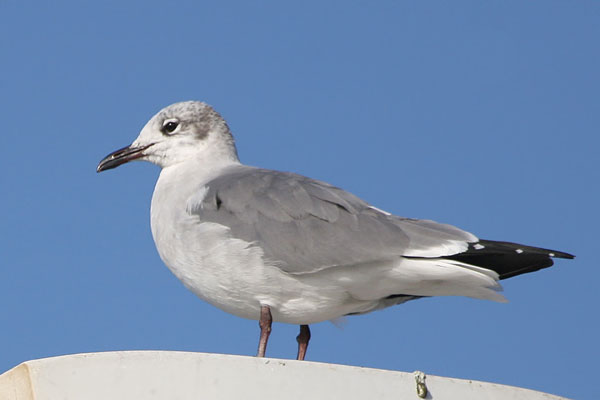 Laughing Gull © 2006 Fraser Simpson