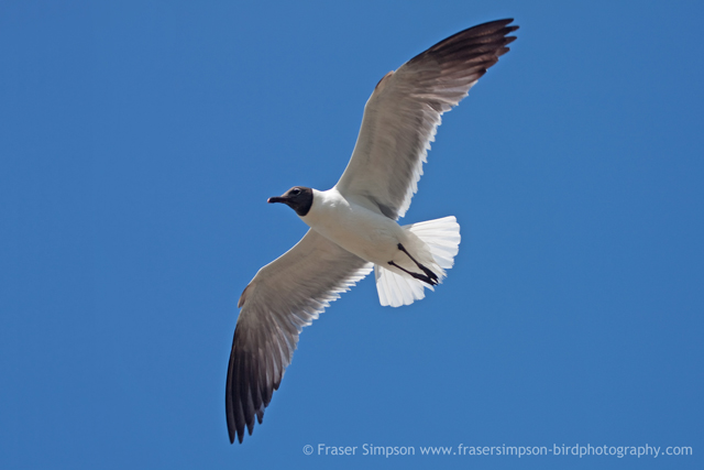 Laughing Gull © 2010 Fraser Simpson