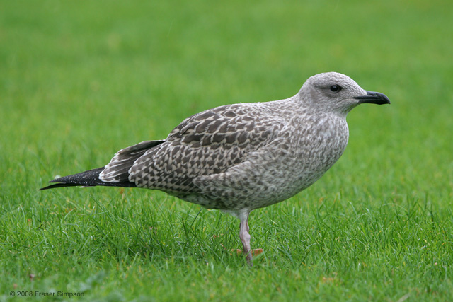 Lesser Black-backed Gull  © 2008 Fraser Simpson