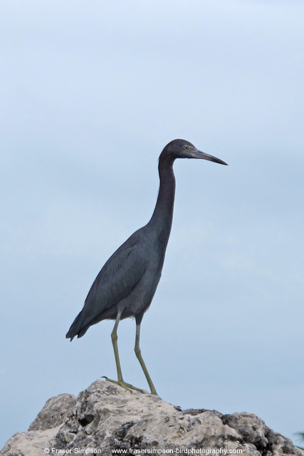 Little Blue Heron © 2014 Fraser Simpson