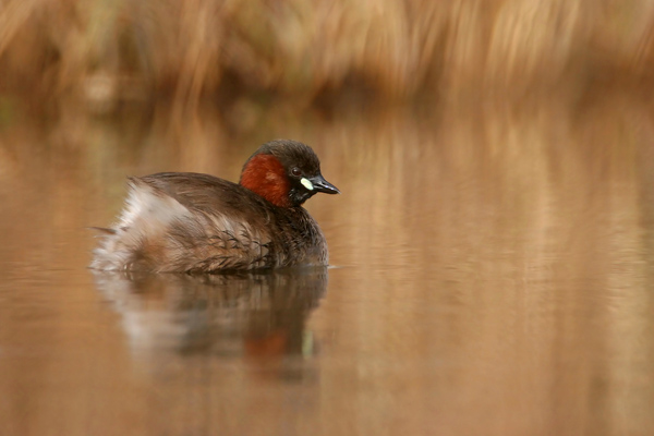 Little Grebe, England