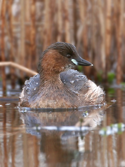 Little Grebe © 2007 Fraser Simpson
