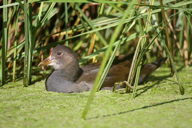 Common Moorhen © 2008 Fraser Simpson