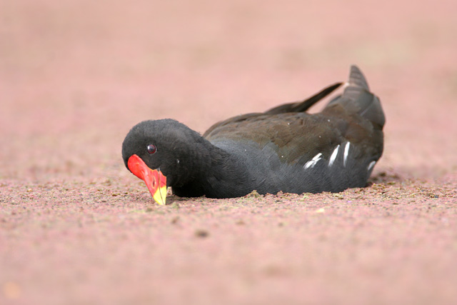 Common Moorhen © 2007 Fraser Simpson